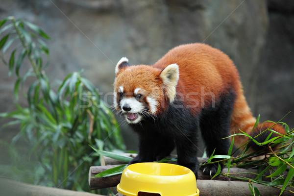 red panda Stock photo © leungchopan