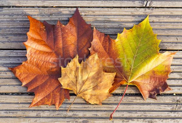 Dried maple leave Stock photo © leungchopan