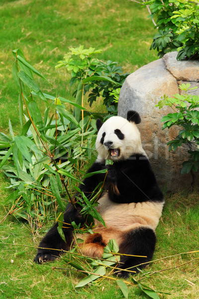 panda Stock photo © leungchopan