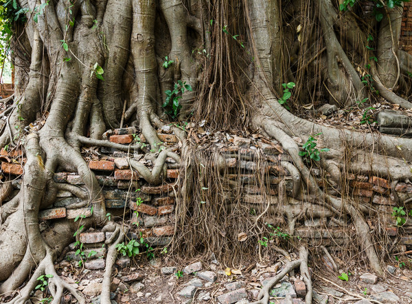 Tree trunk covered old wall Stock photo © leungchopan