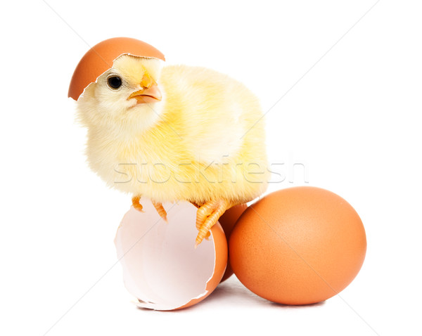 Cute newborn chicken with eggs Stock photo © leventegyori