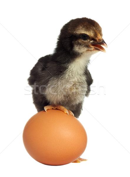 Cute black little chick with egg Stock photo © leventegyori