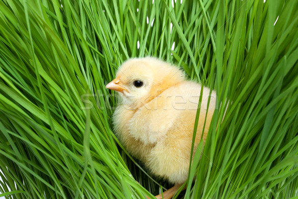 Fluffy chick on green grass Stock photo © leventegyori