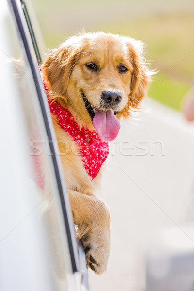 Happy golden retriever dog  with his head out the window of a ve Stock photo © leventegyori
