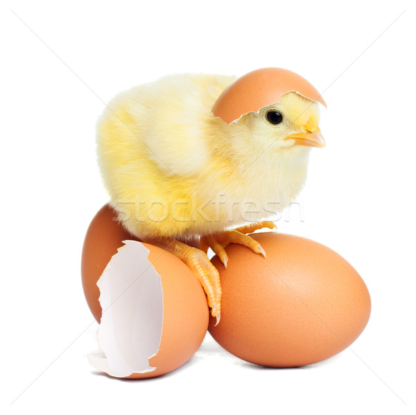 Chick Stock photo © leventegyori