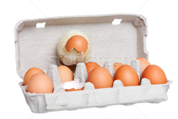 Cute newborn chick with eggs Stock photo © leventegyori