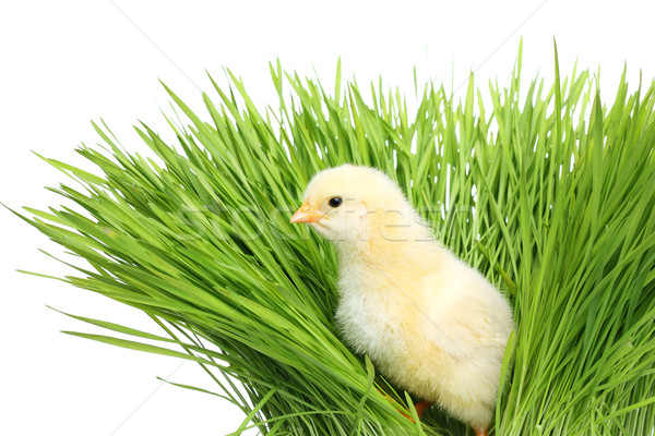 Chicken in green grass Stock photo © leventegyori
