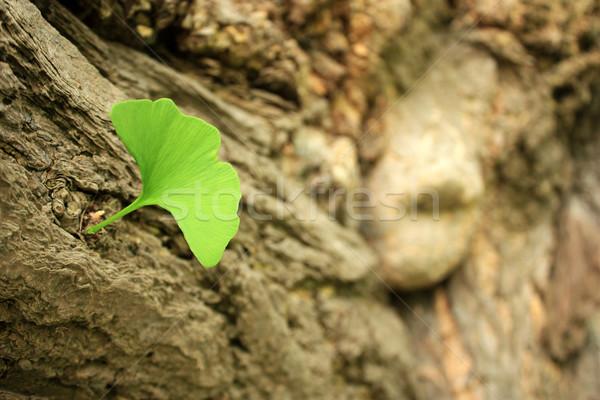 Ginkgo Biloba Leaf Stock photo © leventegyori