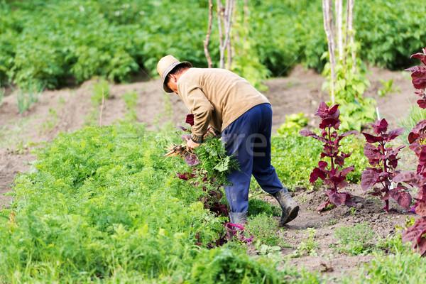 農家 庭園 人参 夏 男性 緑 ストックフォト © leventegyori