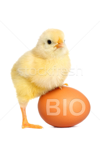 Baby chicken with bio egg Stock photo © leventegyori