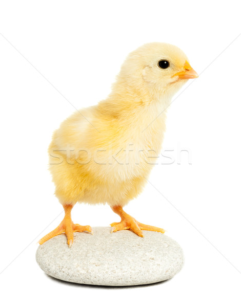 Little chicken animal isolated on white Stock photo © leventegyori
