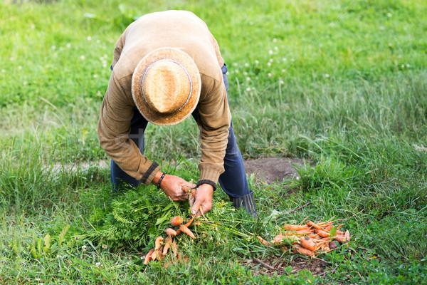 農家 バイオ 人参 夏 男性 緑 ストックフォト © leventegyori