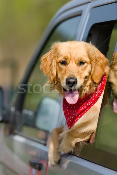 Golden retriever néz ki autó ablak arc Stock fotó © leventegyori
