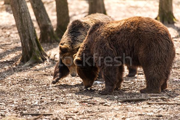 Brown Bears Stock photo © leventegyori