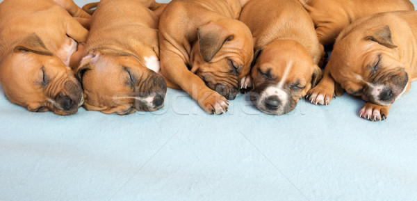 Cute amstaff puppy Stock photo © leventegyori