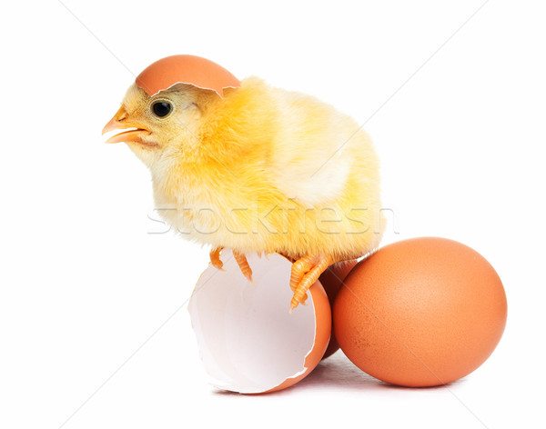 Cute chick isolated with eggs Stock photo © leventegyori