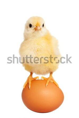 Adorable little chick isolated Stock photo © leventegyori