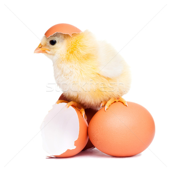 Cute fluffy chick with eggs Stock photo © leventegyori