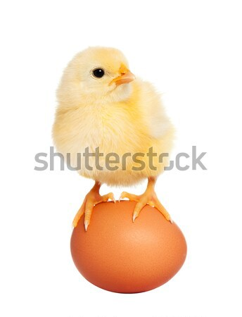 Litle fluffy newborn chick Stock photo © leventegyori