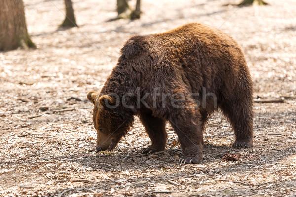 Bruine beer dier bos macht beer horror Stockfoto © leventegyori