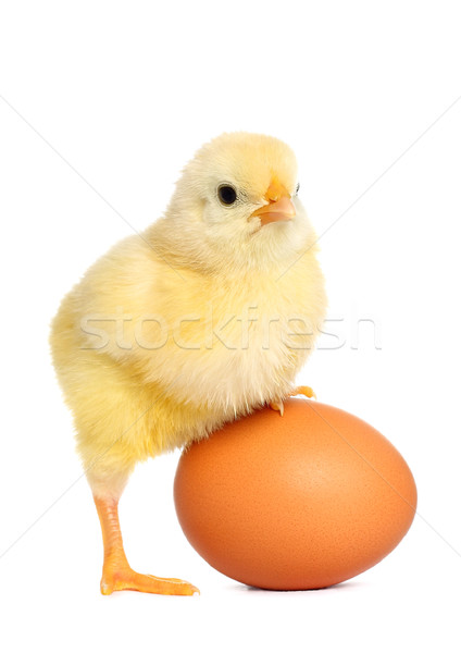 Cute yellow baby chick Stock photo © leventegyori
