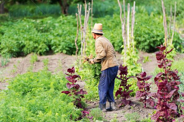 Gazda zöldség bio kert nyár férfiak Stock fotó © leventegyori