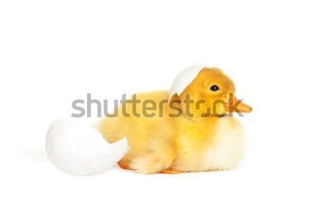 Kicsi újszülött kiskacsa tojás gyermek madár Stock fotó © leventegyori