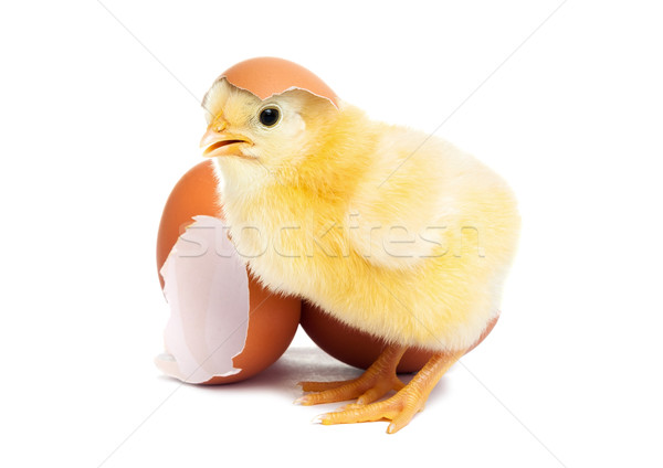 Cute yellow baby chick with egg Stock photo © leventegyori
