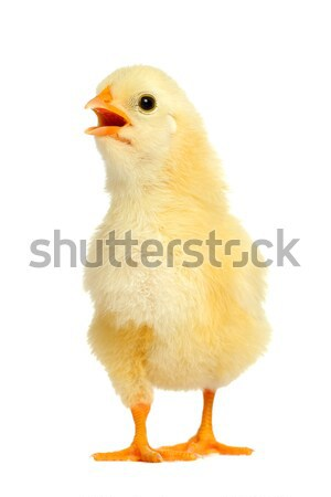 Adorable little chicken Stock photo © leventegyori