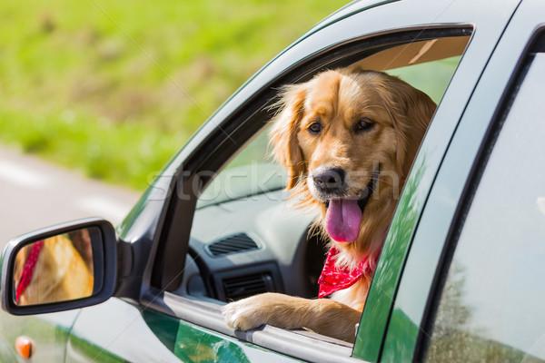 Heureux golden retriever chien tête sur fenêtre Photo stock © leventegyori