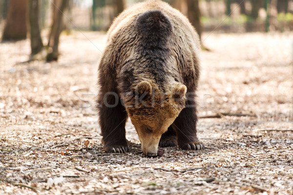 Brown bear in forest Stock photo © leventegyori