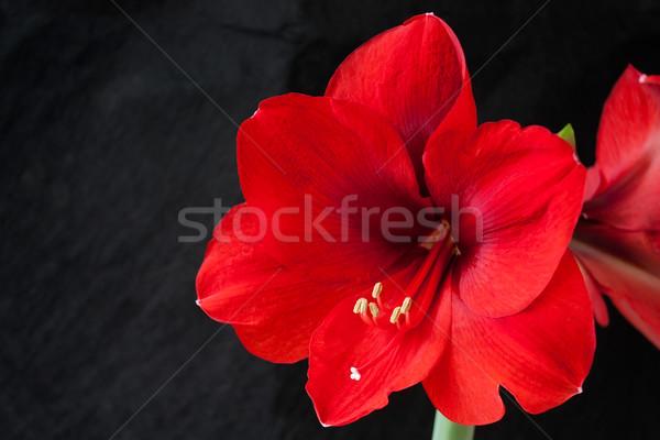 Stok fotoğraf: Kırmızı · ebegümeci · çiçek · siyah · bahar · çim