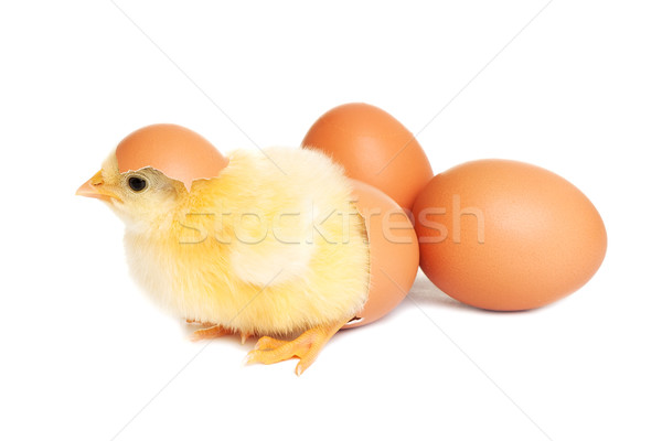 Baby chicken with eggs Stock photo © leventegyori