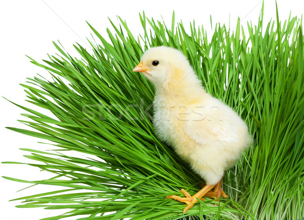 Chick on green grass Stock photo © leventegyori