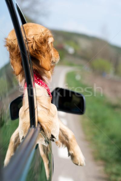 Foto stock: Golden · retriever · olhando · fora · carro · janela · cara