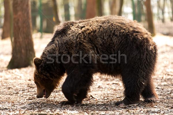 ストックフォト: ヒグマ · 森林 · 電源 · クマ · ホラー · 動物園