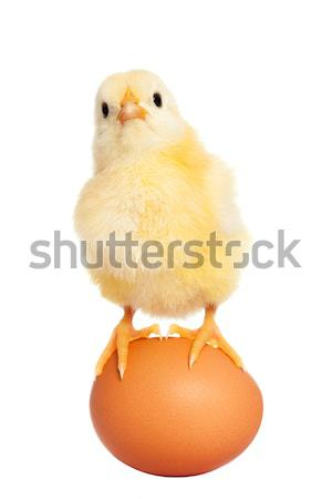 Cute easter chick with egg Stock photo © leventegyori