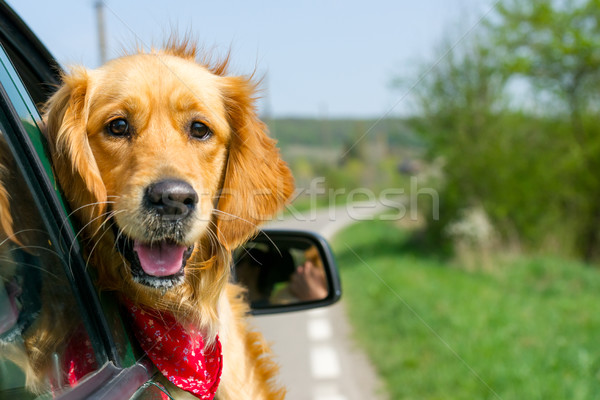 Stockfoto: Golden · retriever · naar · uit · auto · venster · familie