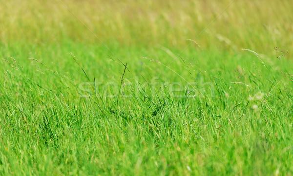 Green grass background Stock photo © leventegyori