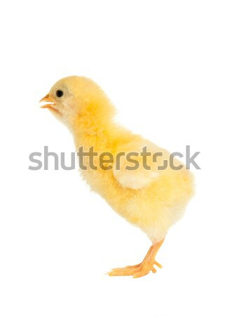 Isolated chick Stock photo © leventegyori