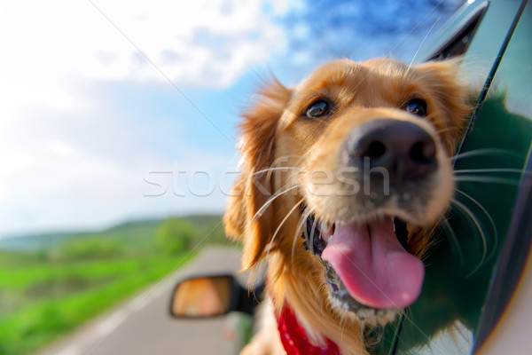 Stock photo: Golden Retriever Looking Out Of Car Window