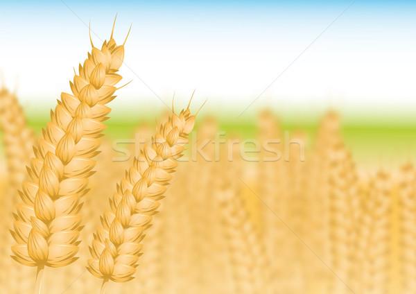 Korenveld gezondheid zomer veld Blauw tarwe Stockfoto © Li-Bro