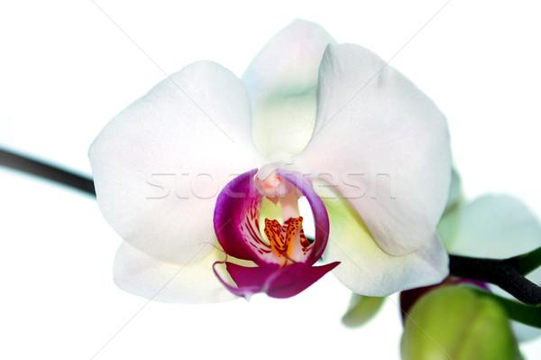 蘭 緑 熱帯 白 ピンク 桜 ストックフォト © Li-Bro