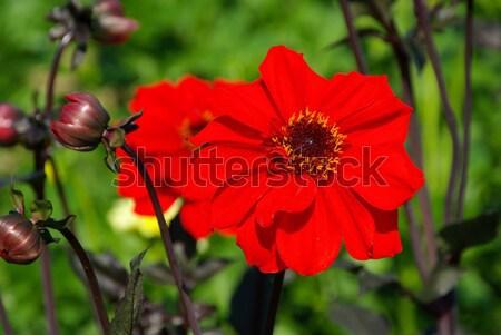 Dalya çiçek yaprak bahçe yeşil kırmızı Stok fotoğraf © LianeM