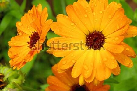 19 çiçek su ışık arka plan yağmur Stok fotoğraf © LianeM