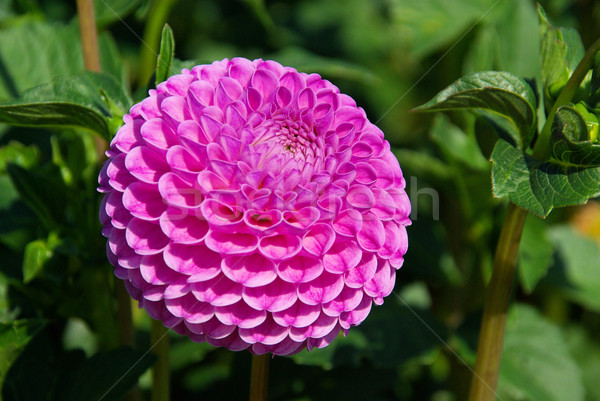 Dahlia bloem natuur blad groene paars Stockfoto © LianeM