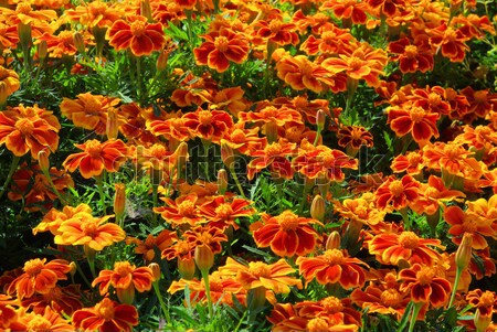 Tagetes 16 Stock photo © LianeM