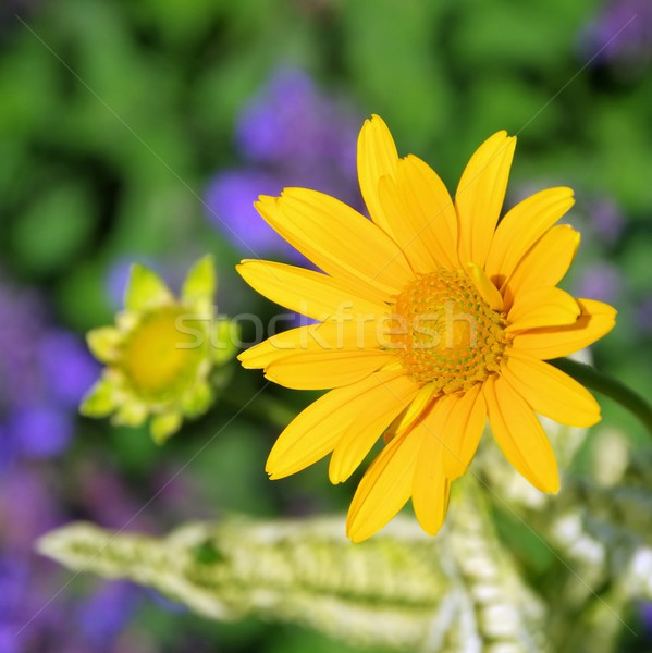 oxeye daisy 02 Stock photo © LianeM