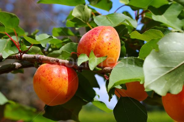 абрикос дерево зрелый плодов продовольствие лист Сток-фото © LianeM