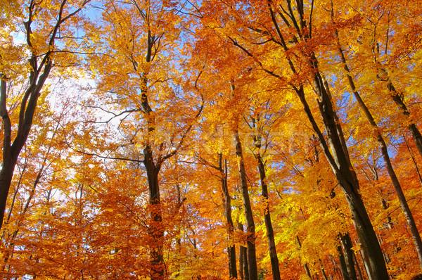 beech forest in fall 35 Stock photo © LianeM